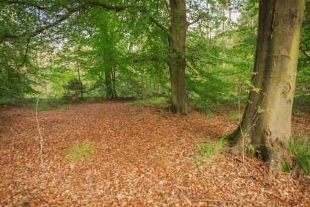 View into an autumnal young alder forest (Alnus) with a small glade and brown leaves on the foreground. Stock Photo