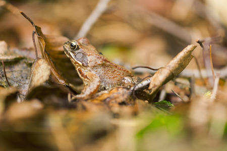 Side view of a brown common toad (Bufo bufo) sitting on brown autumn leaves. Imagens