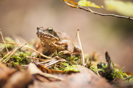 Frontal view of a brown common toad (Bufo bufo) sitting on brown autumn leaves.
