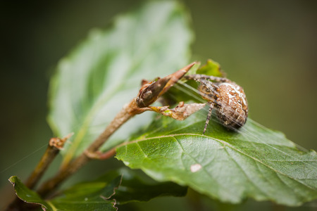 Side view of a garden spider (Araneus diadematus) with filaments sitting on an alder leaf. Stock Photo