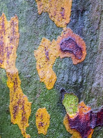 Full-frame view of moist bark of a maple-leaved sycamore.