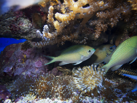 Three small fish between anemone and coral in the aquarium with seabed appearance.