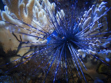 Close-up of a tiara urchin (lat: diadema setosum) with corals in an aquarium.