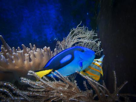 Pallet Doctor (lat: Paracanthurus hepatus) with copper stripe-tweezers (lat: Chelmon rostratus) in an aquarium between corals. Stockfoto