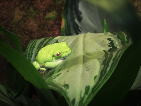 Small Green Mexican Leaf Frog (let: Pachymedusa dacnicolor) sitting on a leaf in the terrarium. Stock fotó