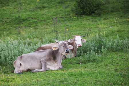 Two adjacent Allg?u milk cows (brown cattle) on an alpine meadow in Bavaria during the summer ruminating.