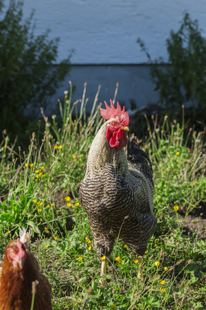 Full length view of a breeding rooster of the German Sparrowhawk breed in the front yard of a Bavarian farmhouse.