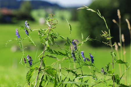 Fence Wicke (lat: Vicia sepium) along the way in front of summerly green alpine meadow. Stockfoto