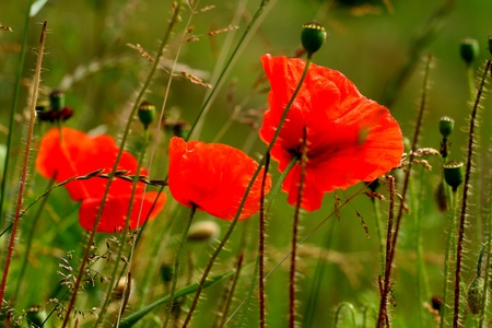 poppies on a background of a meadow