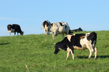 Cows on pasture Stock Photo - 21133840