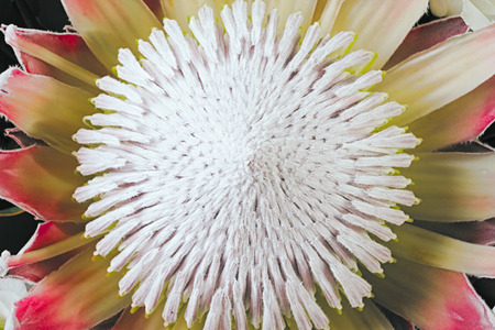 Closeup protea in bouquet. Exotic flower top view