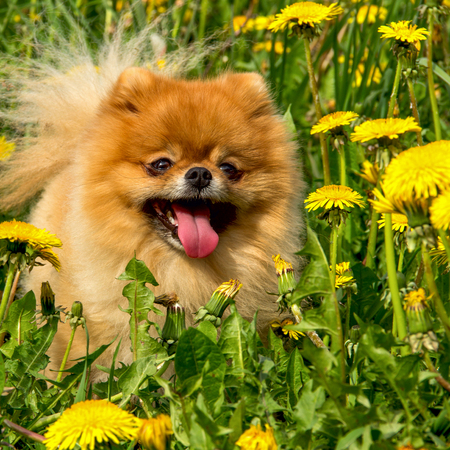 pom: Fluffy Dog Pomeranian Spitz Sitting in a Spring Park in Surrounded Dandelions on a Sunny Day
