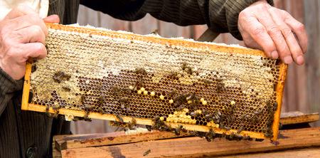 Imker tijdens het verzamelen van honing. Werkende bijen op honingraten