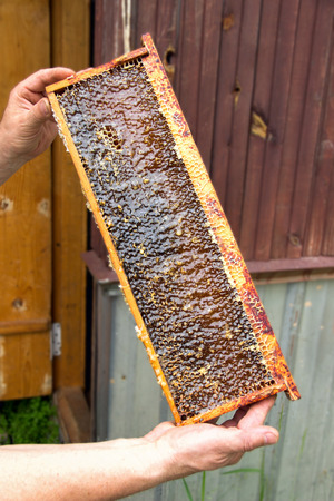 apiculture: Beekeeper holds in hand a frame with honey honeycombs
