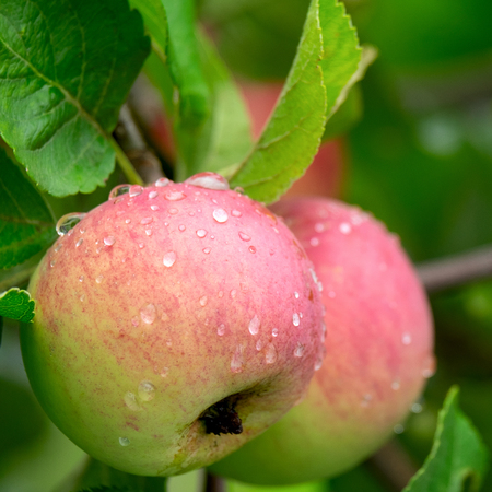 Ripened juicy and delicious apples on a branch after the rain. Stock Photo
