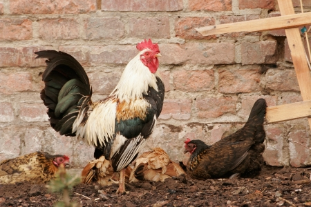 poultry yard: Rooster in the poultry yard Stock Photo