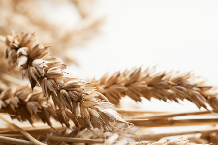 Close-up of wheat ears