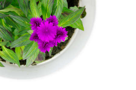Blossoming purple cockscomb on a white background