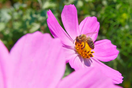 Blossoming pink spring flower and wasp