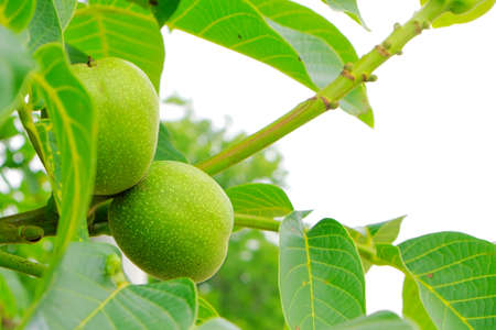Green walnuts on tree Stock Photo