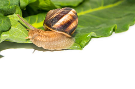 Slowly crawling snail on green leaf Stock Photo