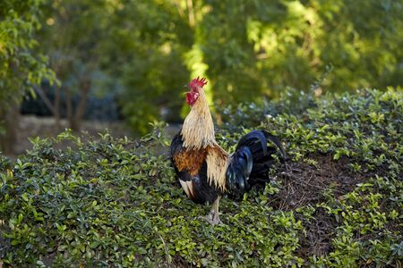 rooster crowing hard across the field