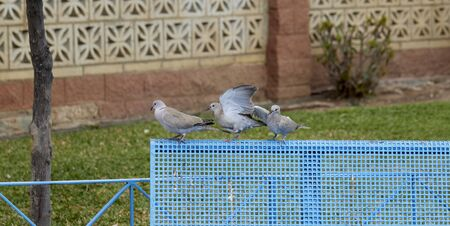 street photography of three pigeons playing on a bench
