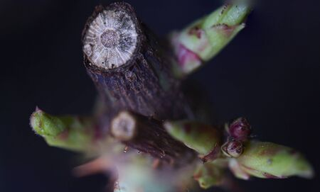 beautiful macro photography of thorns of the rose stem