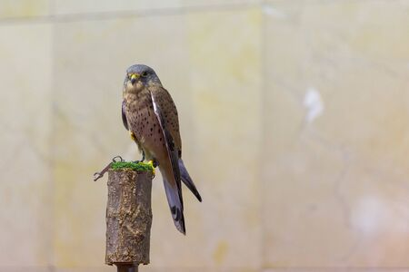 beautiful bird of prey with its piercing gaze and unfocused background 版權商用圖片