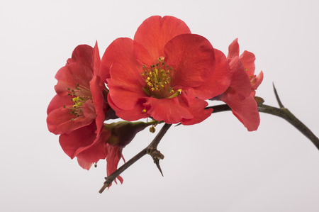 trees with thorns: Quince flowers on a branch Stock Photo