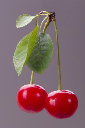 sour cherry: Fresh sour cherry with leaves. Studio macro shoot.