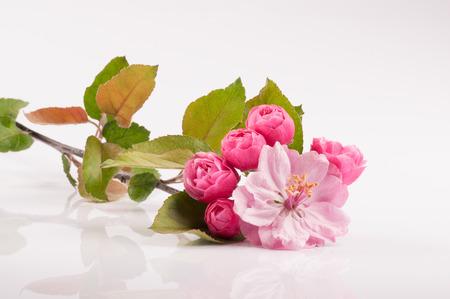 apfelbaum: Flowers of Brandywine crabapple Baum auf Zweig. Apfelbaum. Studio schie�en.