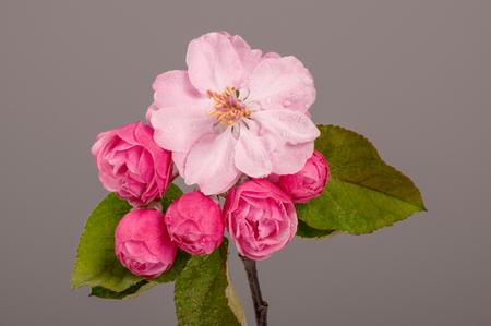 apfelbaum: Flowers of brandywine crabapple tree on branch. Apple tree. Studio shoot. Lizenzfreie Bilder