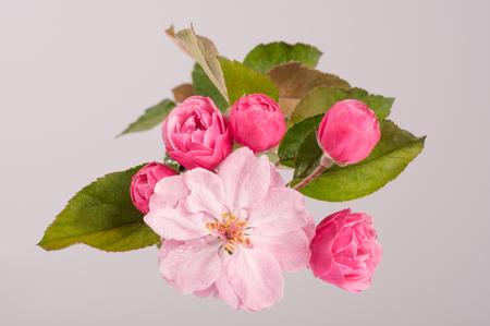 apple blossom: Flowers of brandywine crabapple tree on branch. Apple tree. Studio shoot. Stock Photo