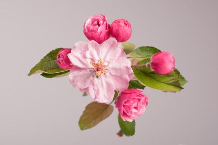 arbol de manzanas: Flores del �rbol de manzano silvestre brandywine en rama. �rbol de manzana. Lanzamiento del estudio. Foto de archivo