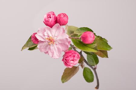 arbol de manzanas: Flowers of brandywine crabapple tree on branch. Apple tree. Studio shoot. Foto de archivo