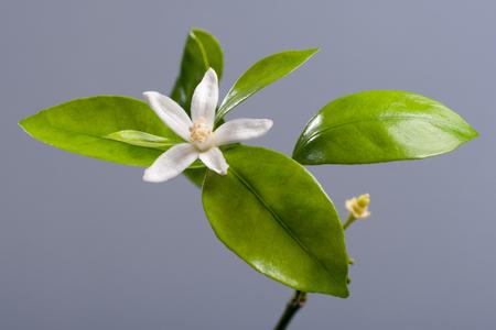 citrus reticulata: Beautiful blooming Tangerine Mandarin Flower on gray background. Studio shoot. Stock Photo