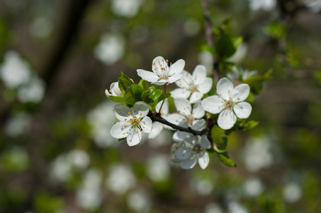 plum grove: Plum blossom, white flowers, close up foto Stock Photo