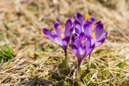 Crocuses in the valley. Spring in tatra mountains. Sunny spring weather.