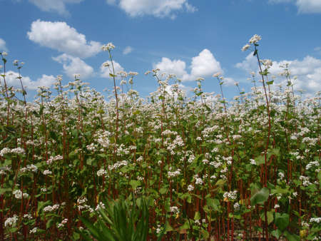 Flowering buckwheat photo