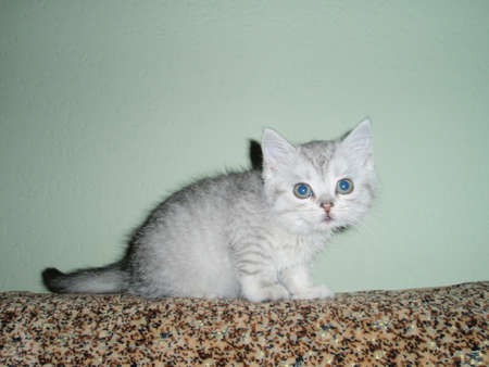 doctoring: gray kitten Stock Photo