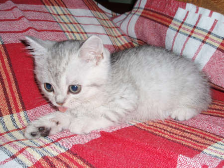 gray cat: Small gray cat