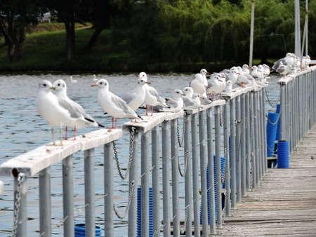 Standing seabrids wathing in marina