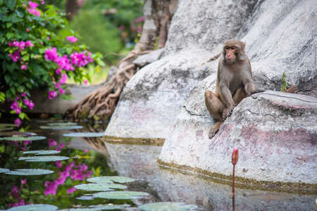 Macaque near the water Stock Photo