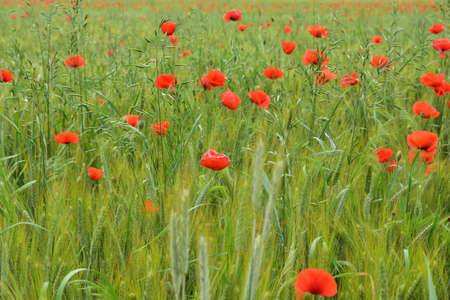 Poppies and cornflowers among the green grain on the field on a cloudy day. Summer. 免版税图像
