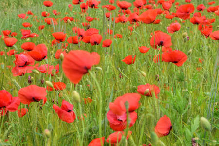 Poppies and cornflowers among the green grain on the field on a cloudy day. Summer.