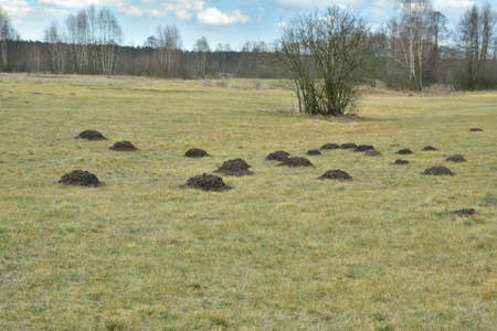 Field covered with molehills on a cloudy spring day. Little enemy.