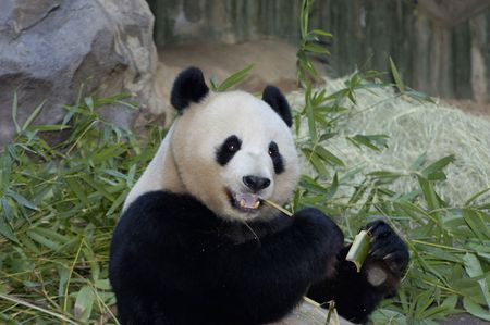 Giant panda eat bamboo shoot Stok Fotoğraf