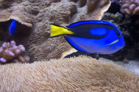 blue tang Stock Photo - 2840394