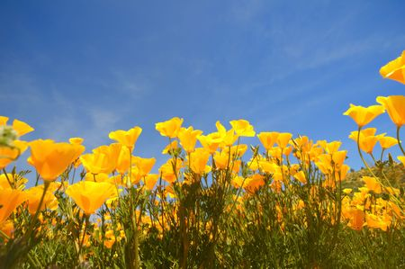 close-up of california poppy field againt blue sky Stok Fotoğraf